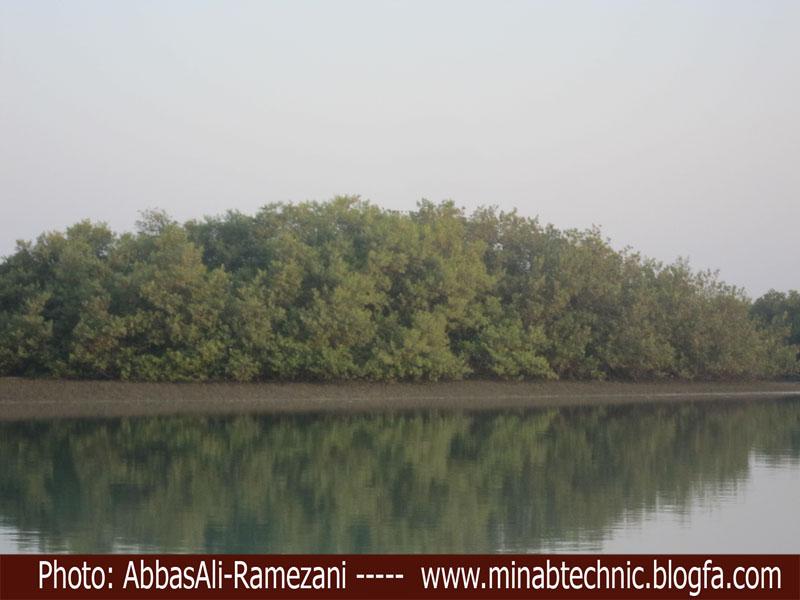درخت مانگرو